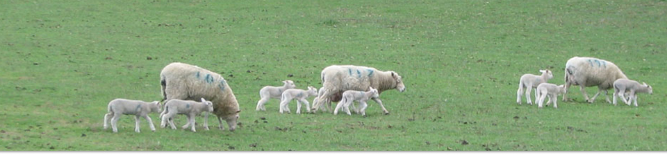 Ewes with MultiMeat lambs at foot